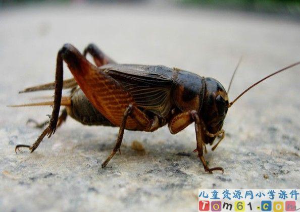 蟋蟀的住宅课件26