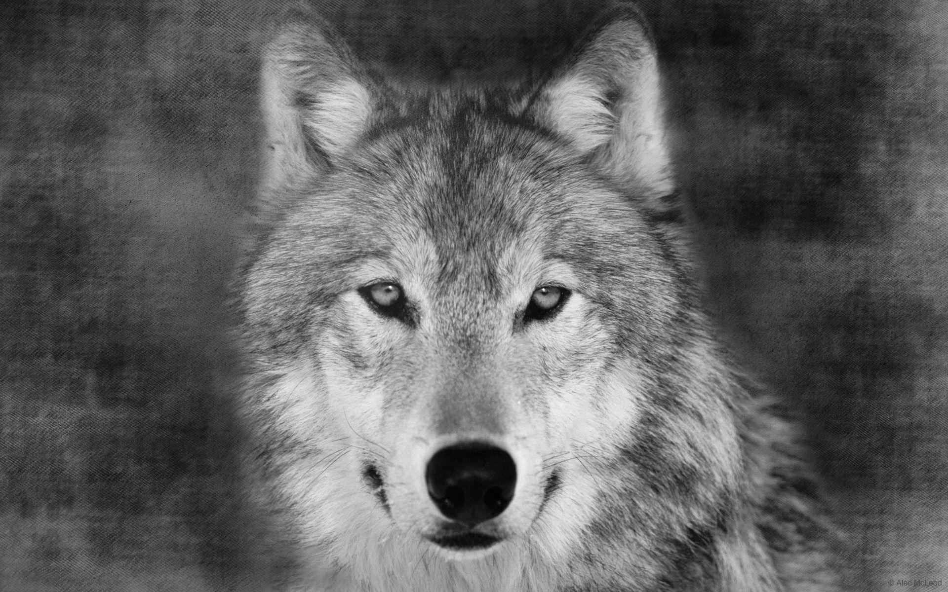 素描画狼的步骤教程