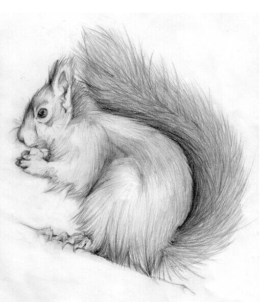 松鼠-素描图集