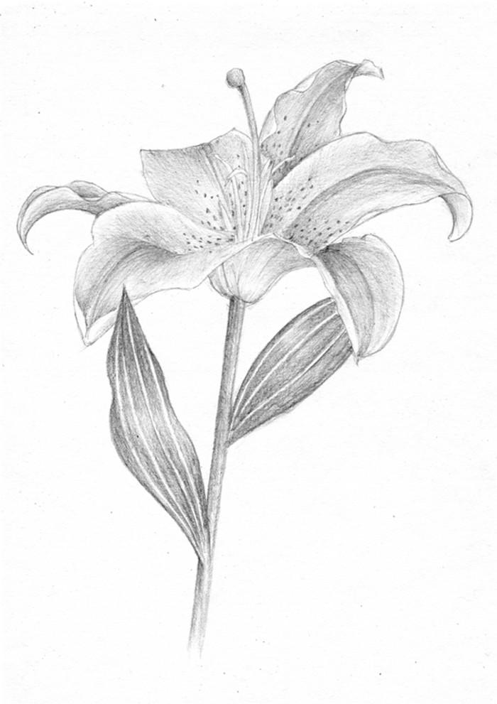 百合花-素描图集